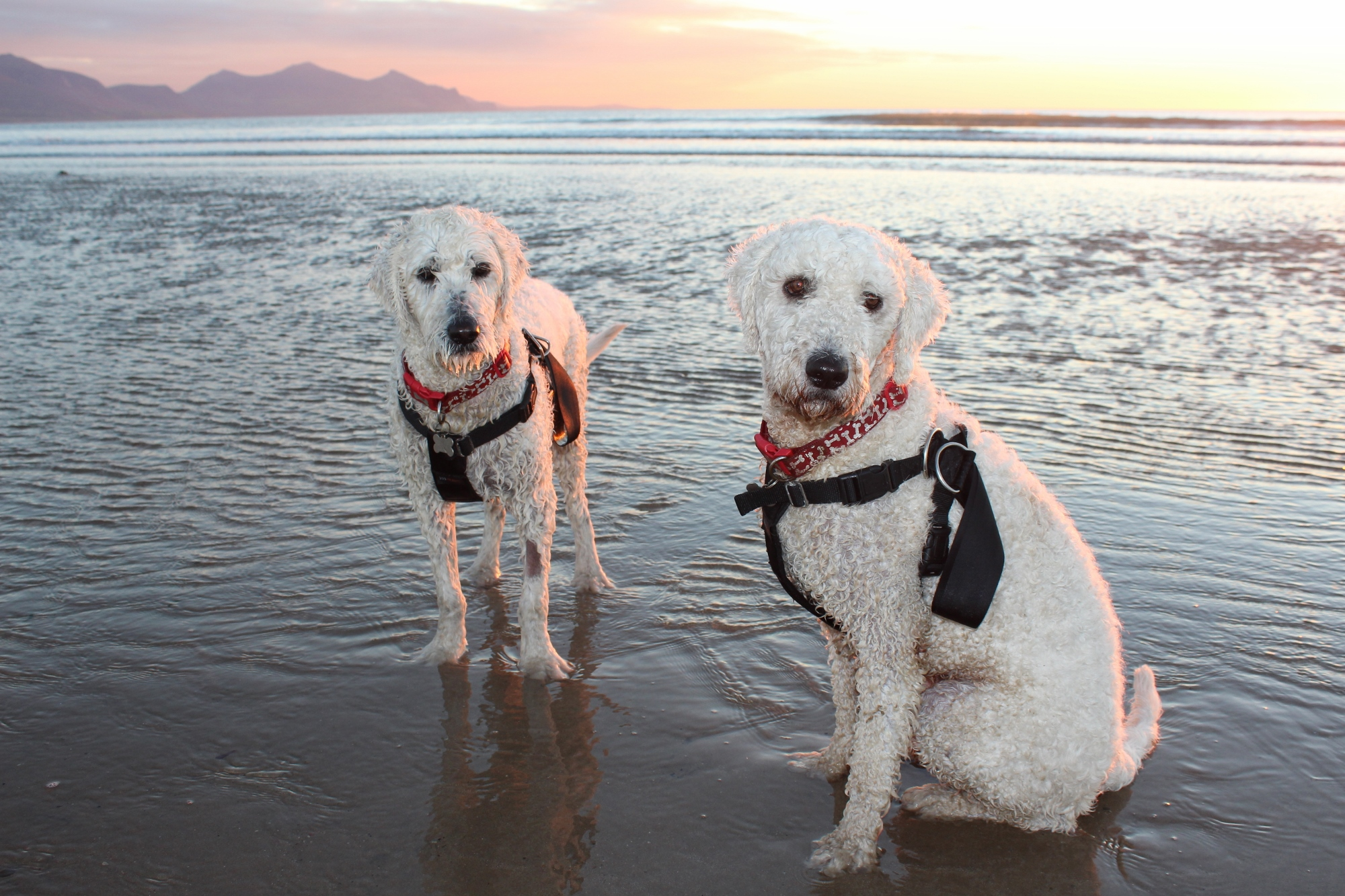 The dogs at Dinas Dinlle