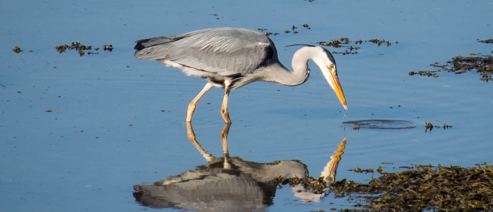 grey heron in north wales