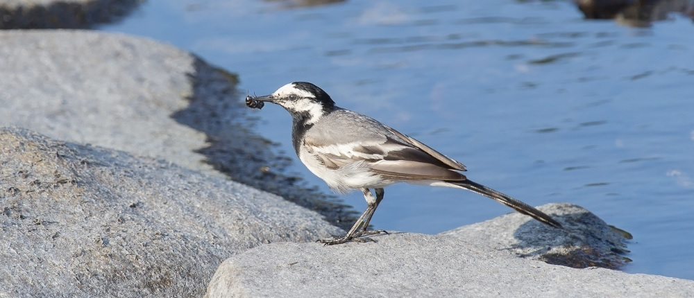 Pied wagtail by the water