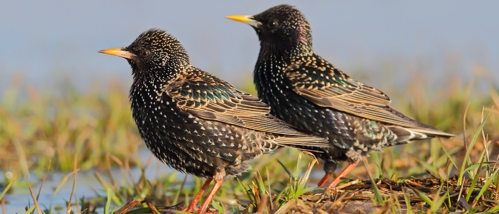 two starlings by the river