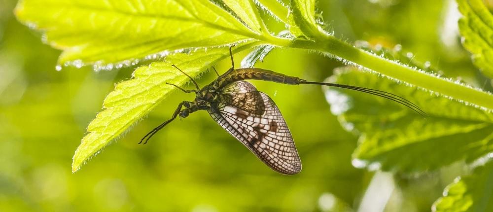 common mayfly