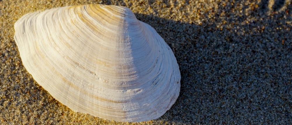Sand Gaper