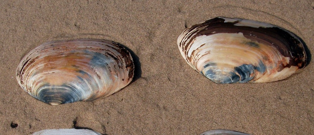 Otter Shells