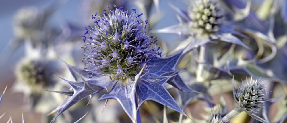 sea holly stem